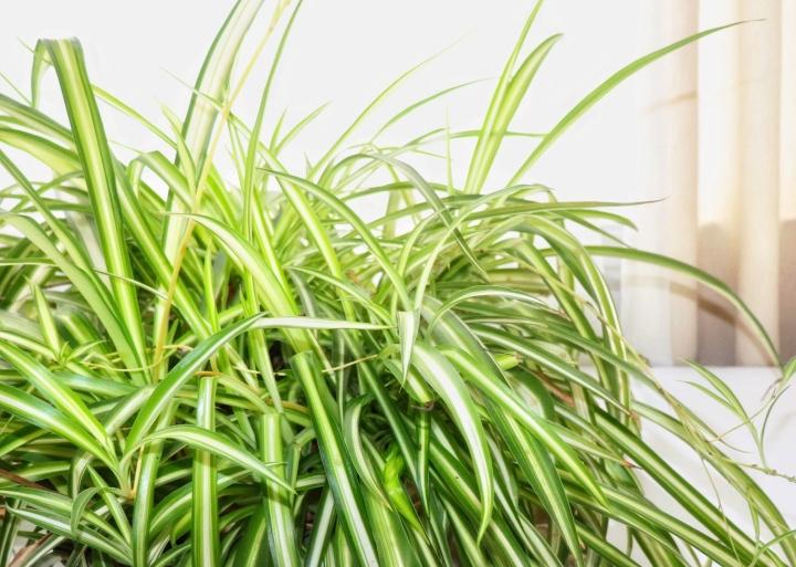 Spider Plant a.k.a. Chlorophytum comosum